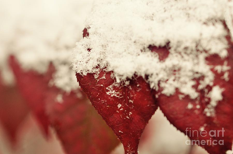 Burning Bush Photograph - First Snow by Christina McKinney