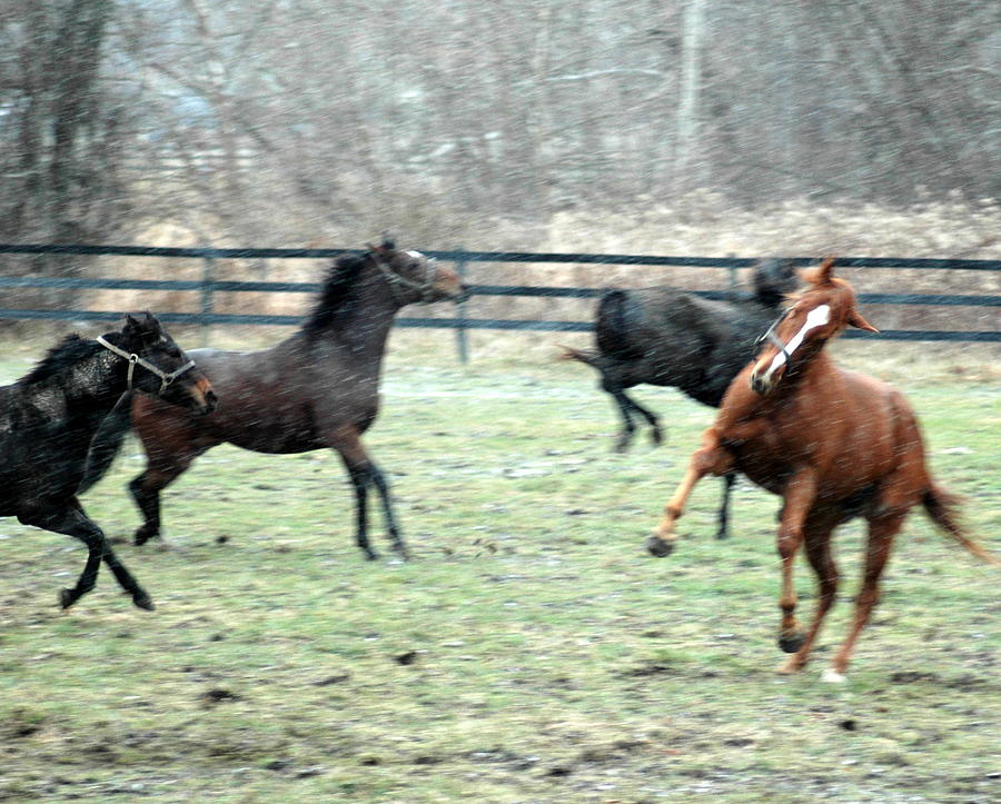 Horses Photograph - First Snow by William A Lopez