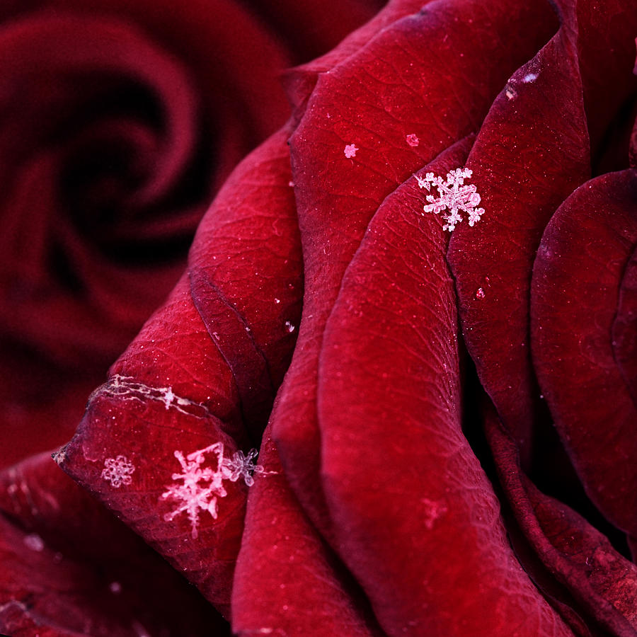 Love Photograph - First Snowflakes With Love by Floriana Barbu
