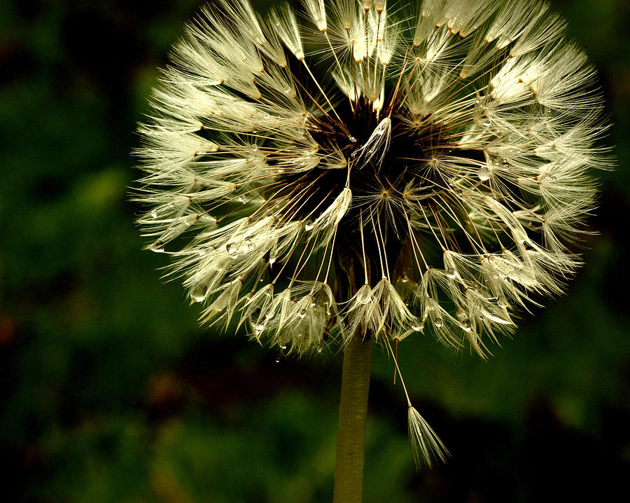 Dandelion Photograph - First To Go by Scott Gould