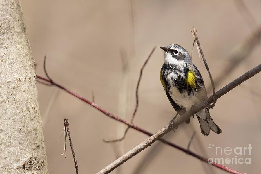 Warbler Photograph - First Warbler Back Yellow Rumped Warbler by Nikki Vig