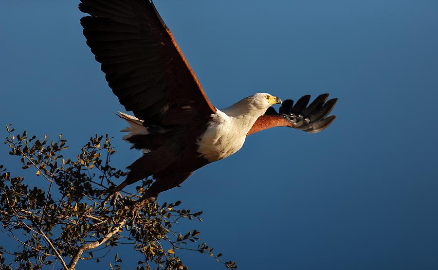 Fish Eagle Taking Flight Photograph