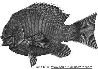 Fish Drawing - Fish by Gina Mikel