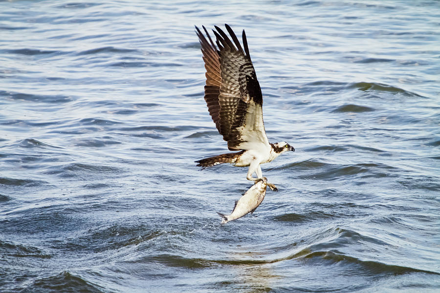 Wildlife Photograph - Fish Hawk by Michael McStamp