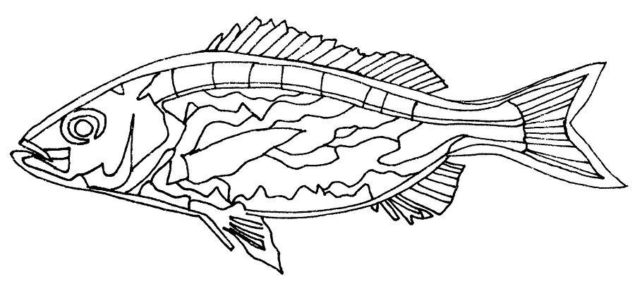 Fish Drawing - Fish Lines by Baya Clare