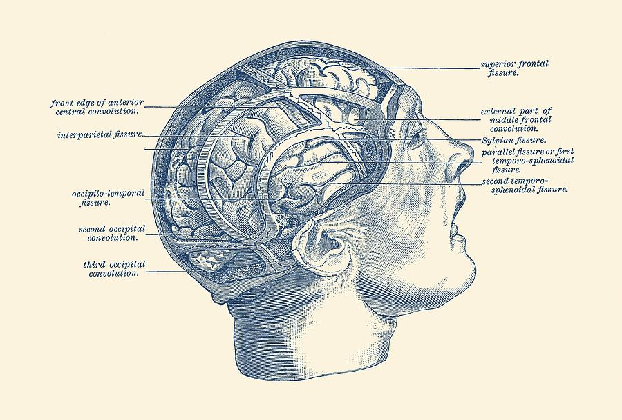 Fissure Focused Brain Diagram - Vintage Anatomy Drawing by Vintage ...