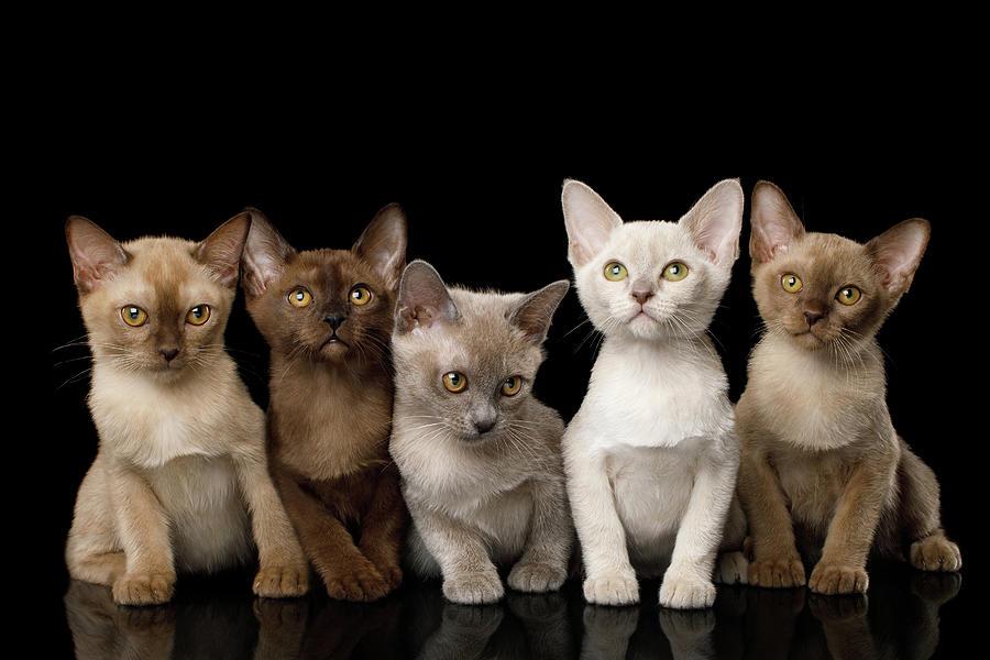 Kitten Photograph - Five Burmese Kittens by Sergey Taran