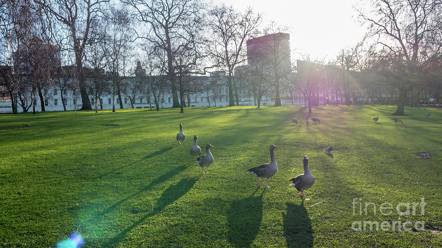 Europe Photograph - Five Ducks Walking In Line At Sunset With London Museum In The B by PorqueNo Studios