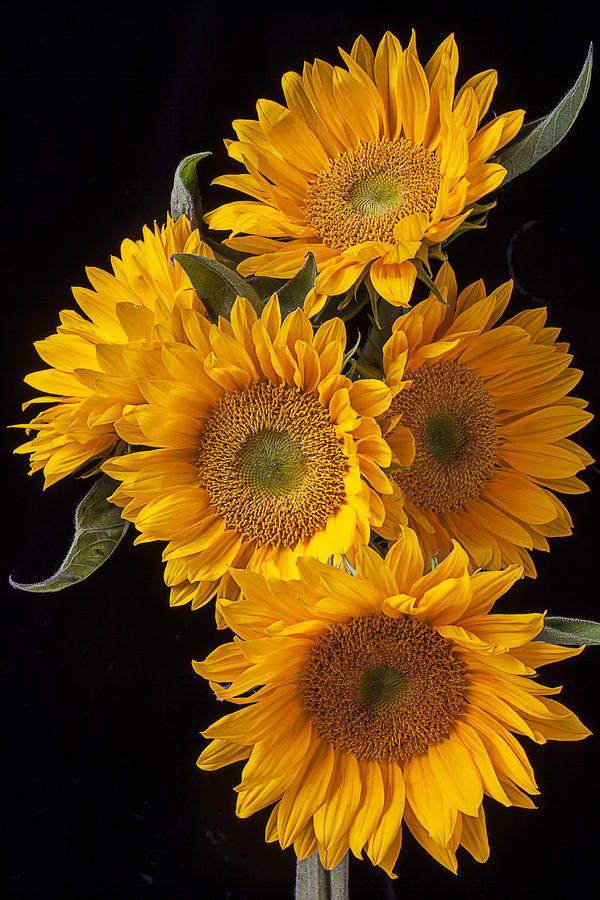 Five Photograph - Five sunflowers by Garry Gay