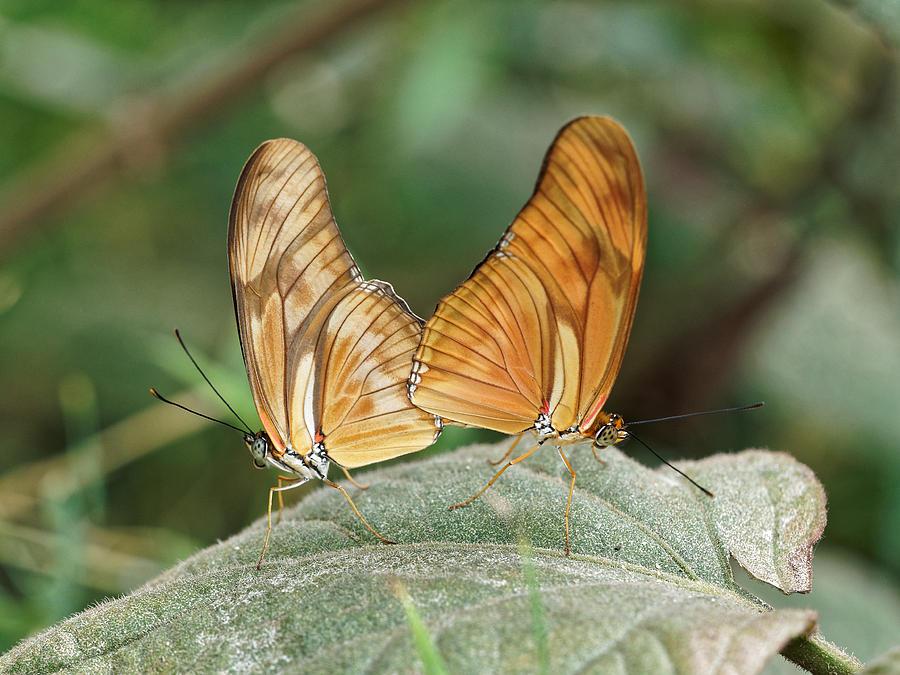 Flambeau butterfly - 2 by Paul Gulliver