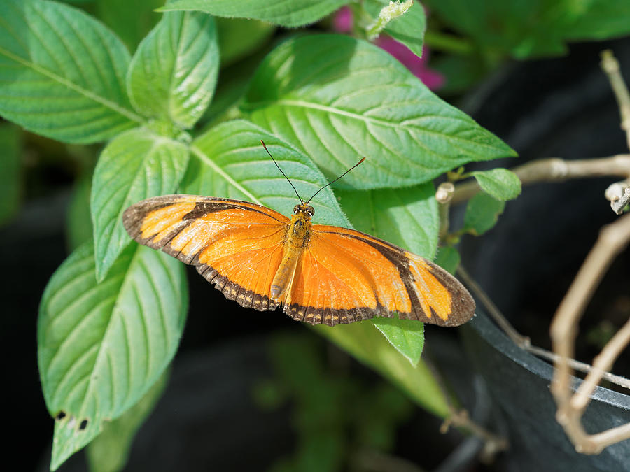 Flambeau Butterfly by Paul Gulliver
