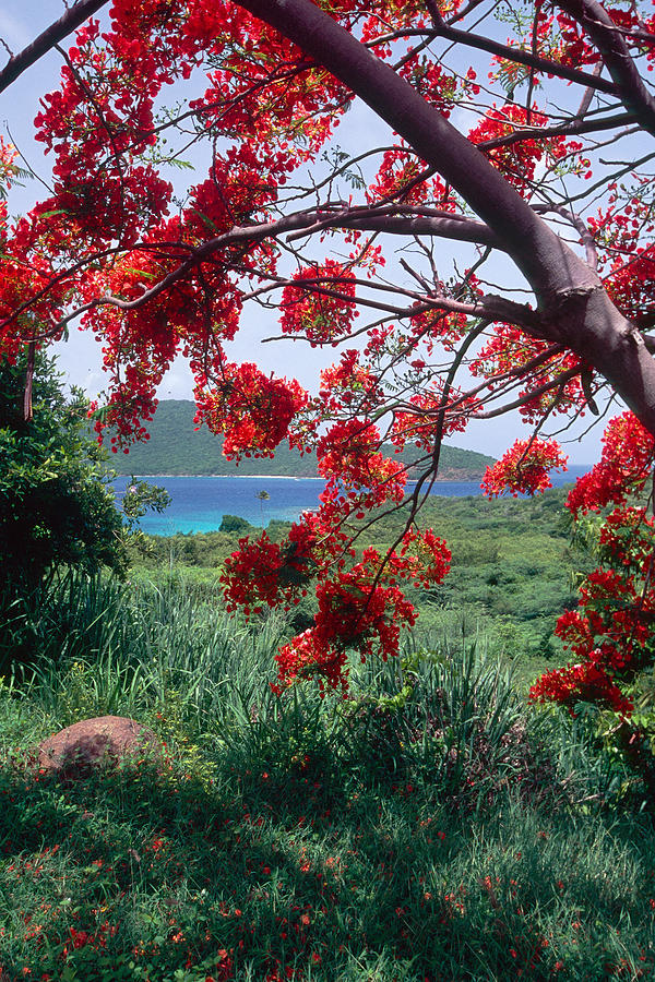 Beach Photograph - Flamboyan Tree by George Oze