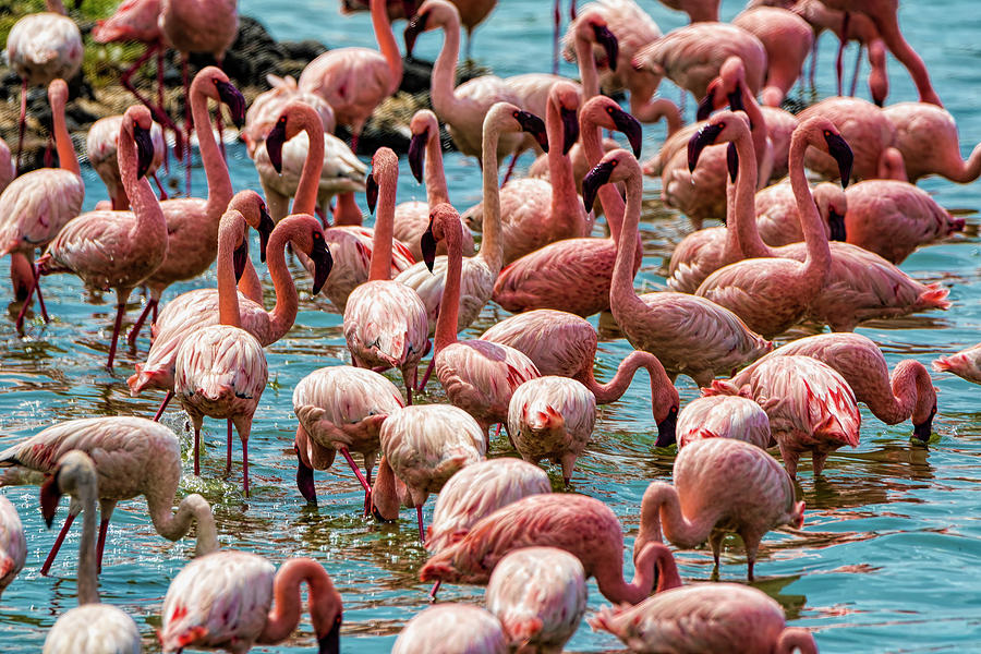 Flamingos Photograph - Flamboyance Of Flamingos by Pravine Chester