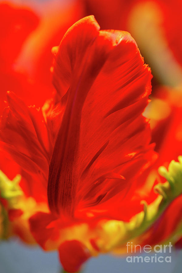 Flamboyant Parrot Tulip Flower Photograph