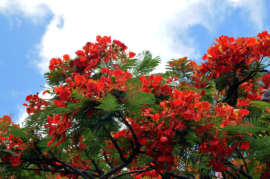Flowers Photograph - Flamboyant Red Flowering Tree by Lorrie Morrison