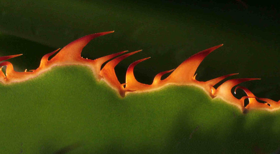 Nature Photograph - Flaming Aloe by Matt Cormons