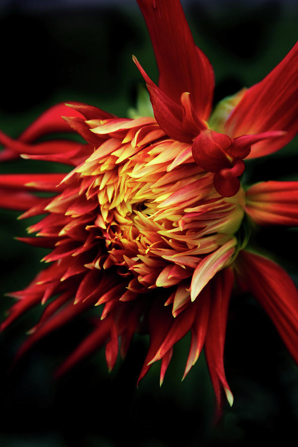 Dahlia Photograph - Flaming Dahlia  by Jessica Jenney