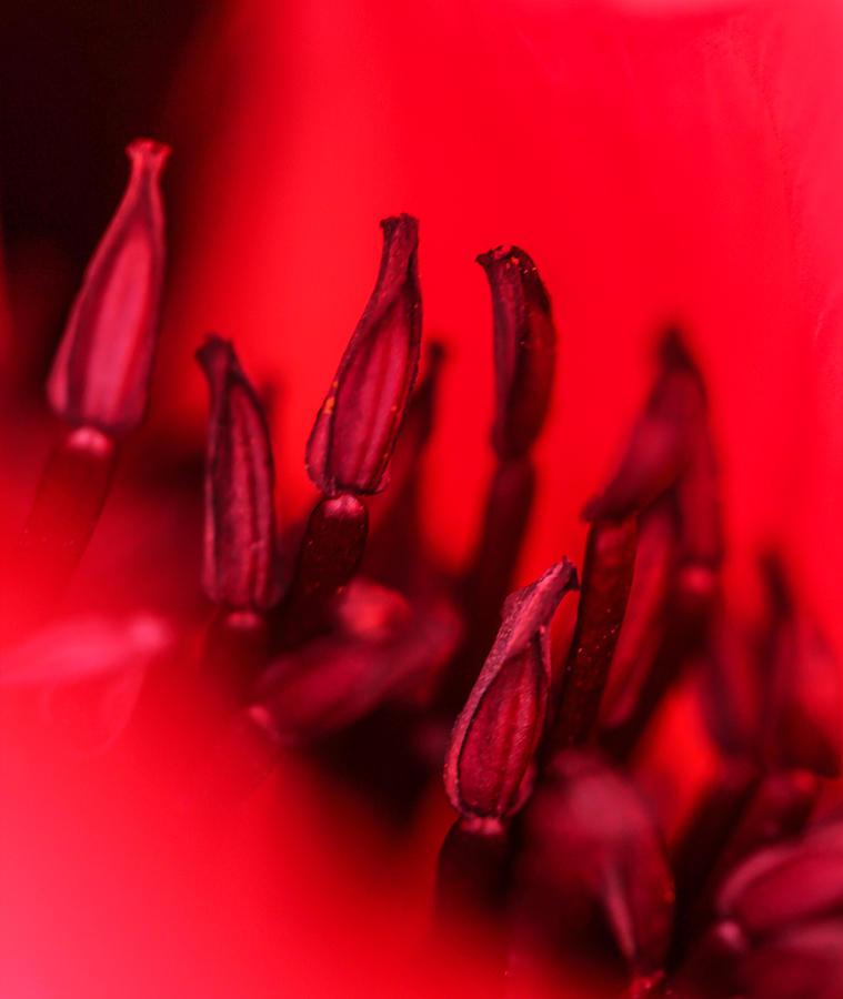Poppy Photograph - Flaming Poppy Detail by Mo Barton