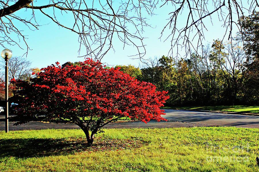 Flaming Red Bush Photograph