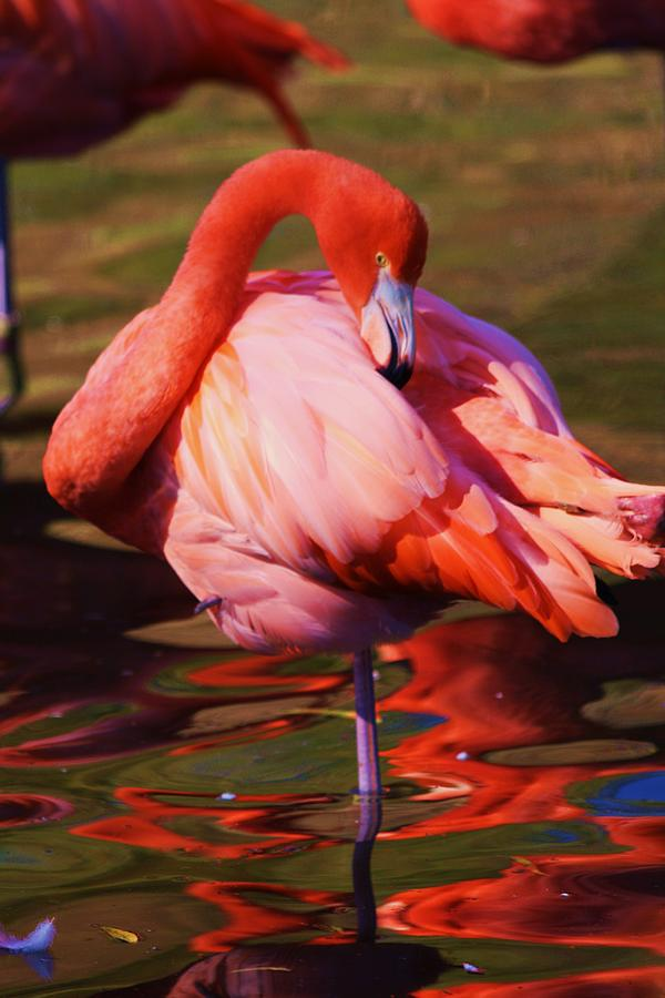 Flamingo Photograph - Flamingo 2 by Russell  Barton