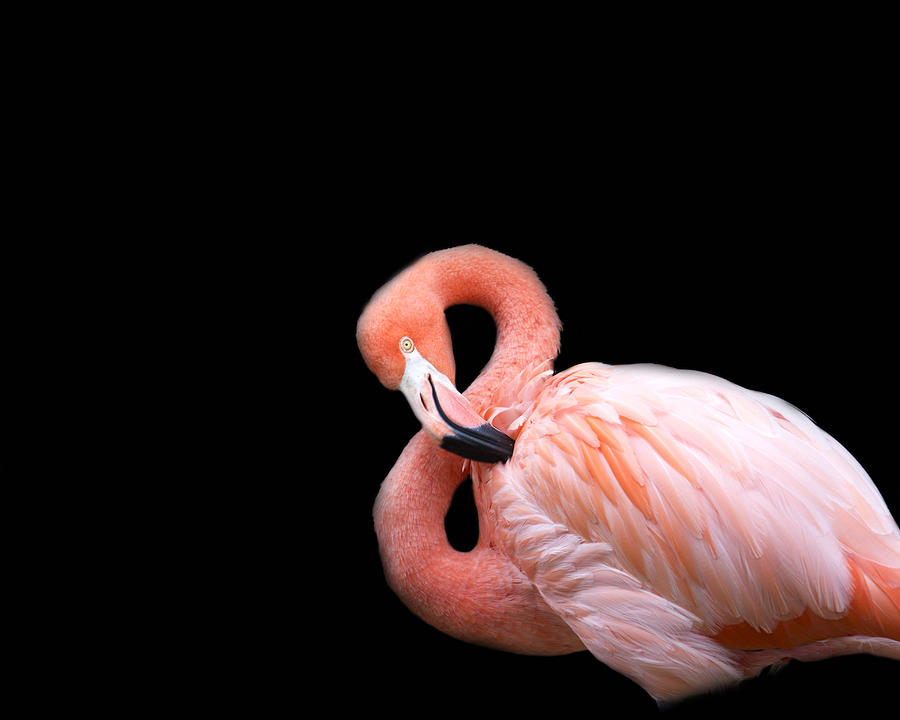 Flamingo 3 Photograph