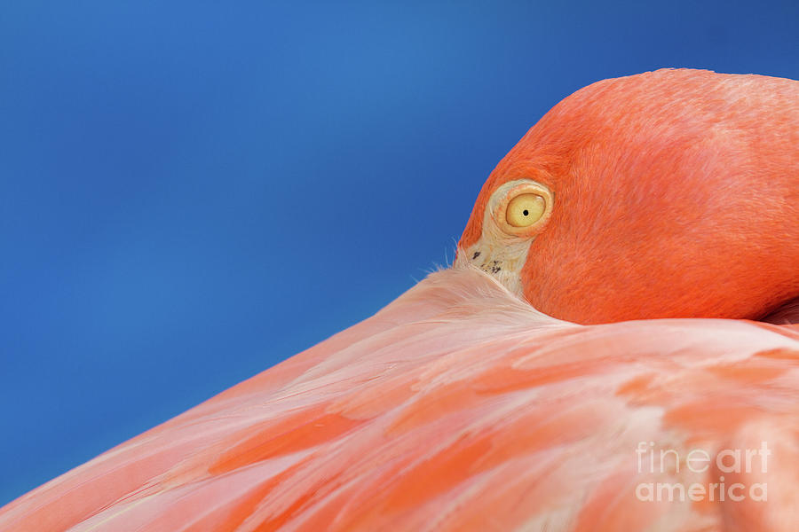 Flamingo Photograph - Flamingo Blues by Jennifer McCallum