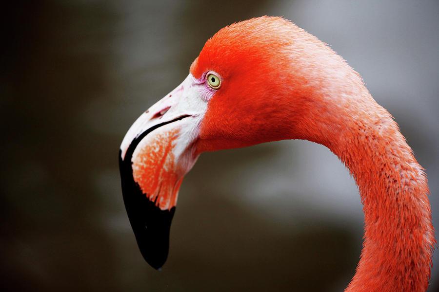 Flamingo Photograph - Flamingo by Dan Pearce