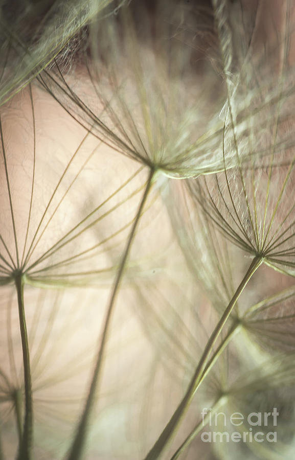 Close Up Photograph - Flamingo Dandelions by Iris Greenwell
