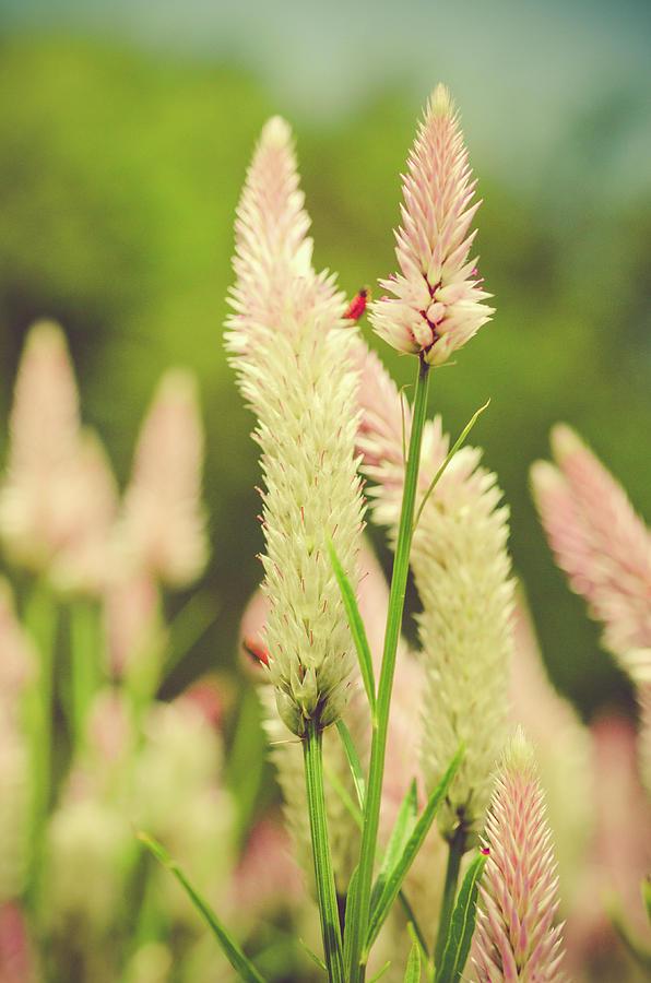Flamingo Feather Celosia Photograph