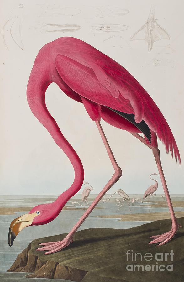 Flamingo Painting - Flamingo by John James Audubon