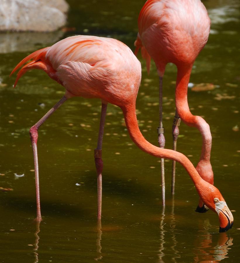 Flamingo Photograph - Flamingo by Lakida Mcnair