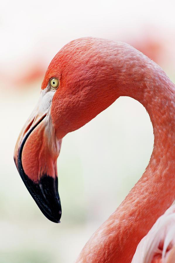 Flamingo Photograph