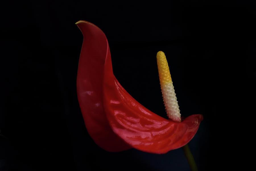 Flamingo Lily by Carol Eade