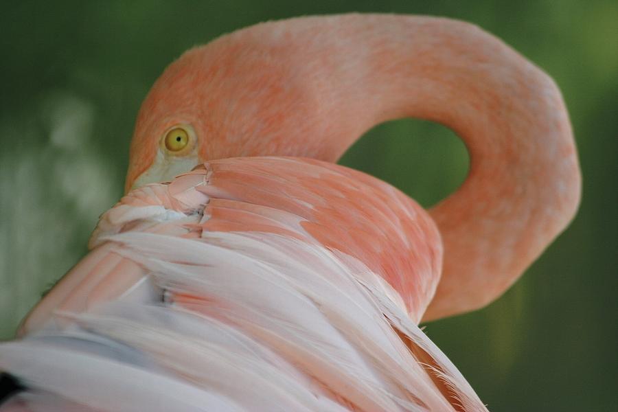Flamingo Photograph - Flamingo by Melanie Beasley