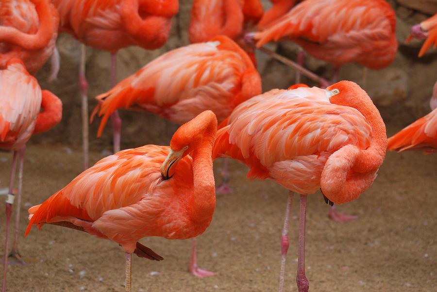 Blanton Photograph - Flamingo Party by Teresa Blanton