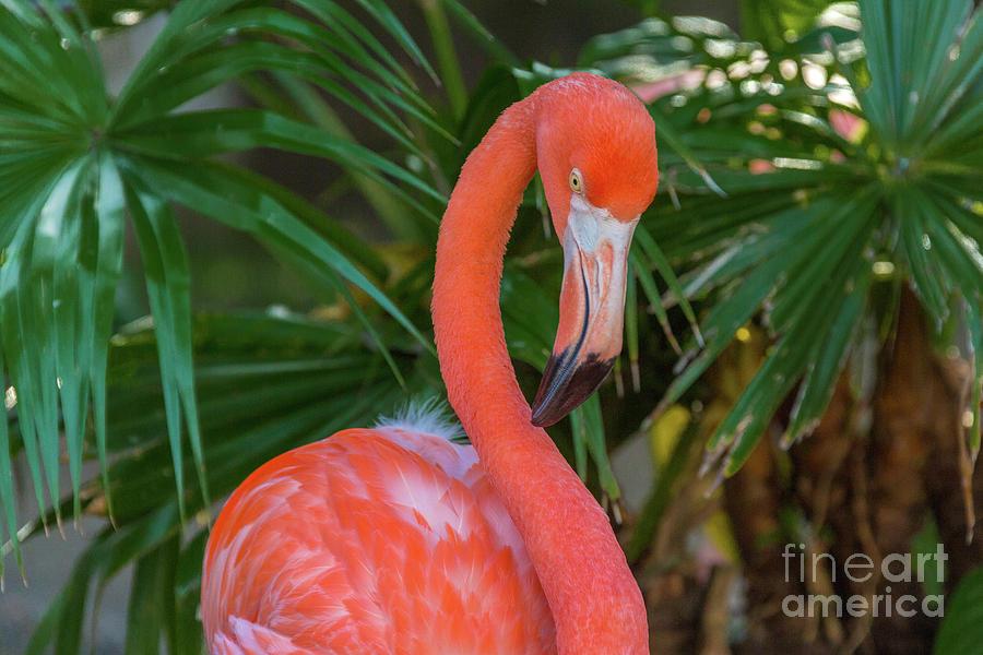 Flamingo Portrait Photograph