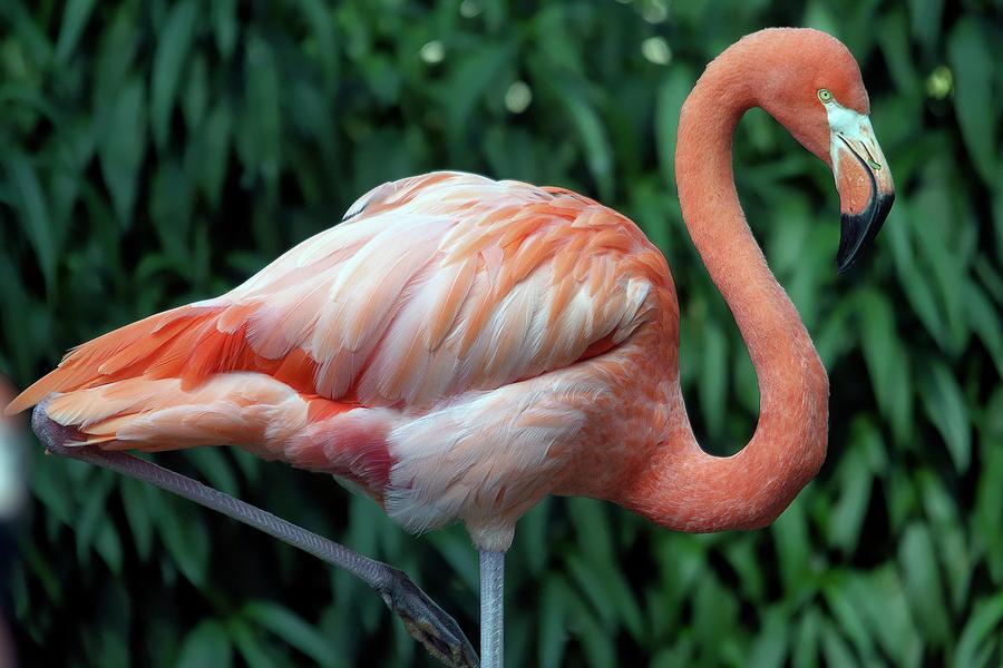 Flamingo Photograph - Flamingo Portrait by TJ Baccari