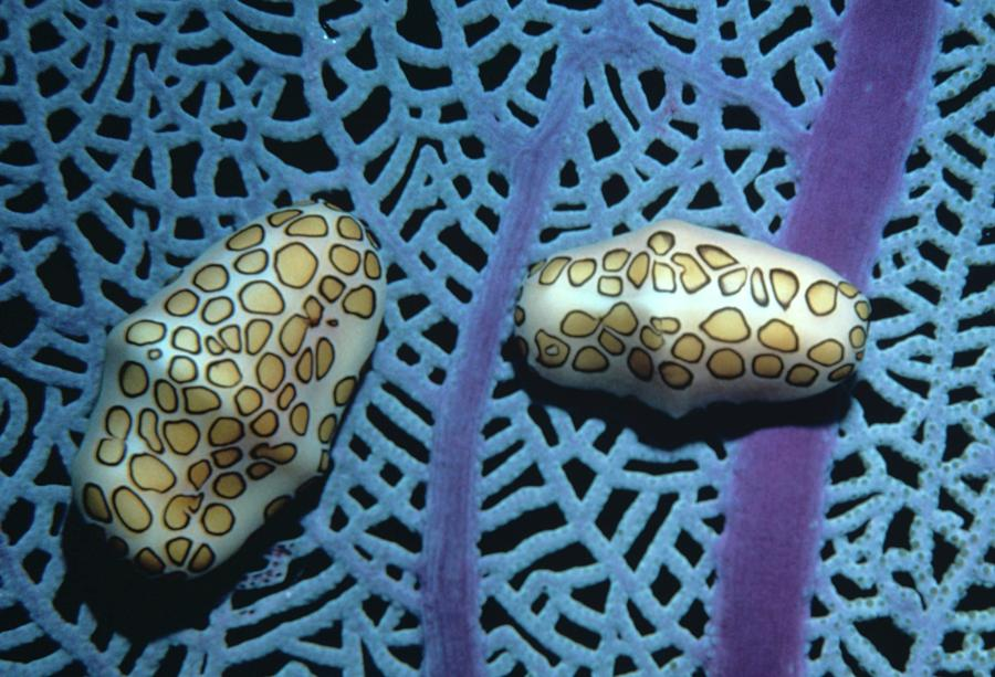 Sea Fan Photograph - Flamingo Tongue Shells On Sea Fan by Don Kreuter