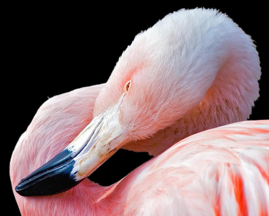 Flamingo Twist Photograph
