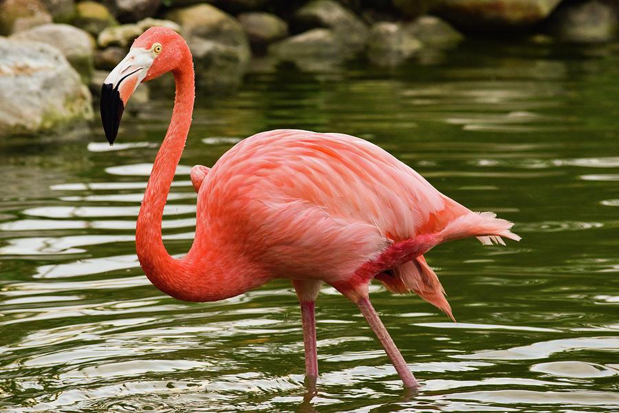 Flamingo Wades by Nicole Lloyd