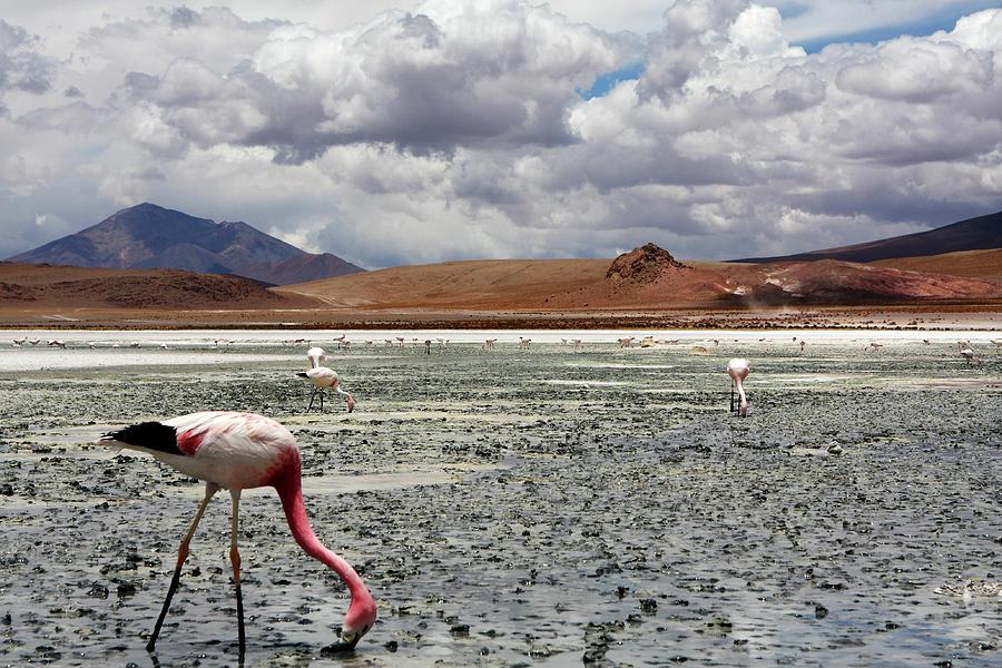 Flamingos On Uyuni Salt Flats by Aidan Moran