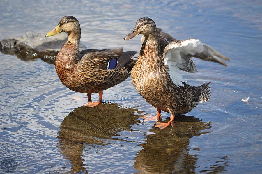 Ducks Pyrography - Flap Them by Joseph Johns