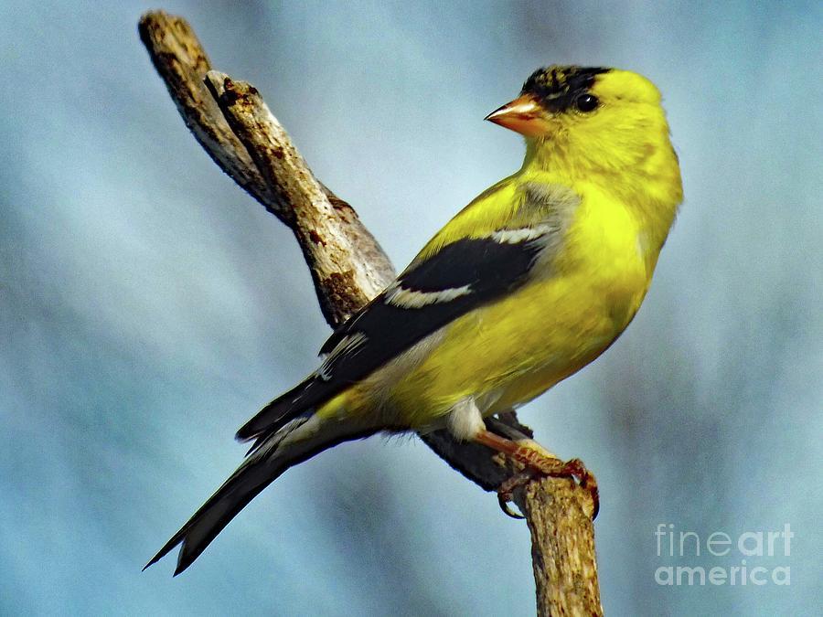 Flat Head American Goldfinch Photograph