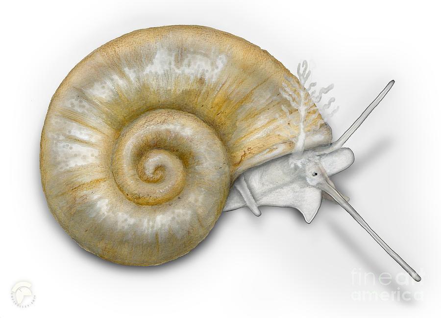 Flat Valve Shell Valvata Cristata - Platte Pluimdrager - Flache Painting