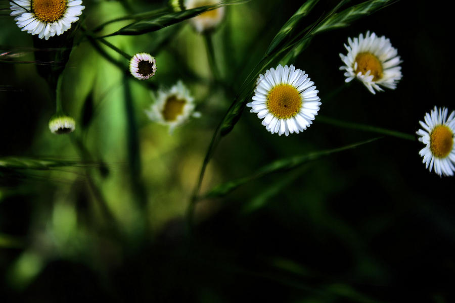 Flowers Photograph - Flea Bane by Gulf Island Photography and Images