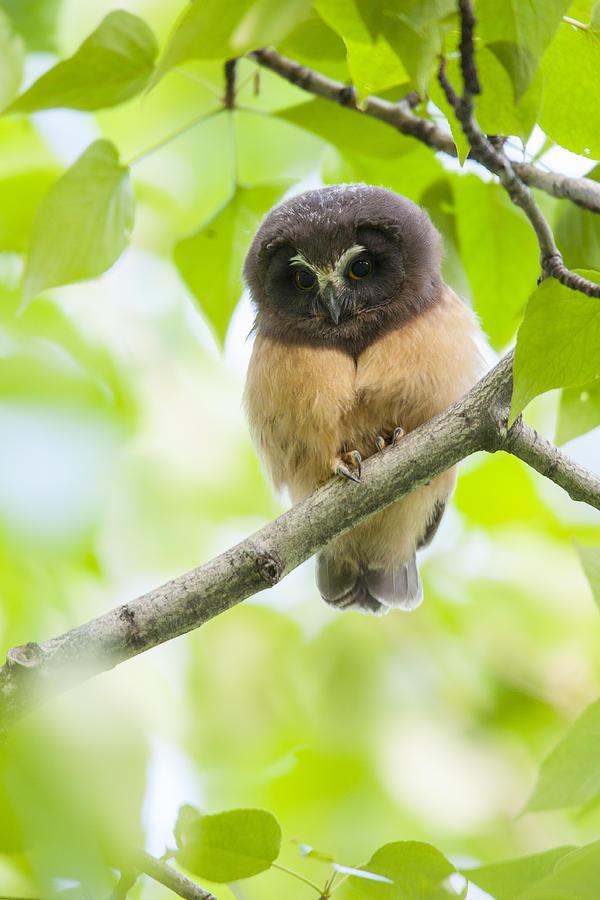 Alaska Photograph - Fledgling Saw-whet Owl by Tim Grams