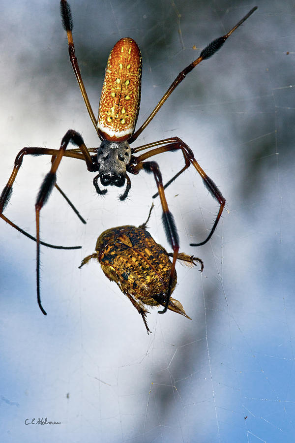 Golden Silk Orb-weaver Photograph - Flew In For Dinner by Christopher Holmes