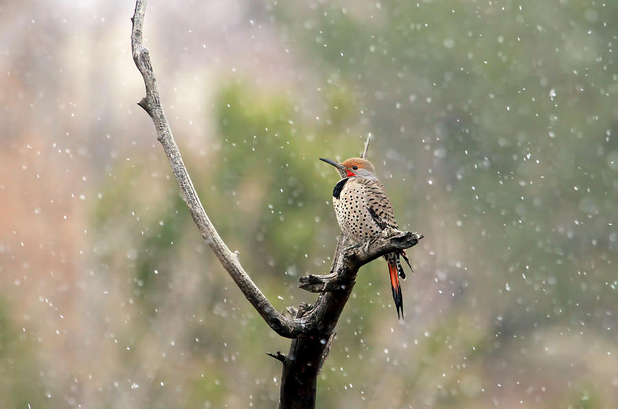 Northern Flicker Photograph - Flicker In The Rain by Donna Kennedy