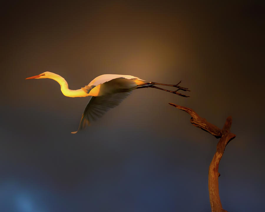 Great White Egret Photograph - Flight At Sunset by Mark Andrew Thomas