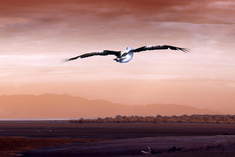Pelican Photograph - Flight by Holly Kempe